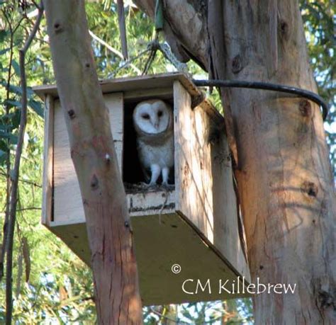 attracting barn owls natural rodent control owl nest