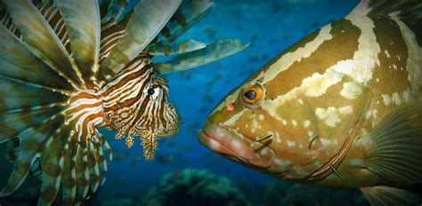 grouper lionfish open water invasive vs caribbean relationship gobbled documented between kill ashley native observation recorded peerj gustafson examining re