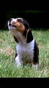 Baby Beagle Howling