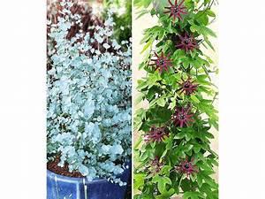 Winterharte Pflanzen Liste : winterharter eukalyptus winterharte passionsblume 2 ~ Michelbontemps.com Haus und Dekorationen
