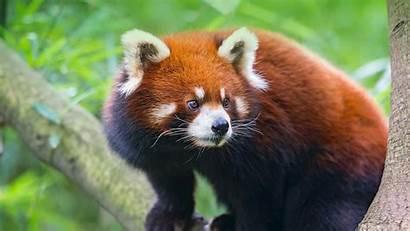 Panda Pandas Animals Zoo Wallpapers Species Facts