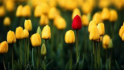 Yellow Flowers Wallpapers Tulips Tulip Spring Flower
