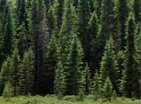 image gallery evergreen taiga
