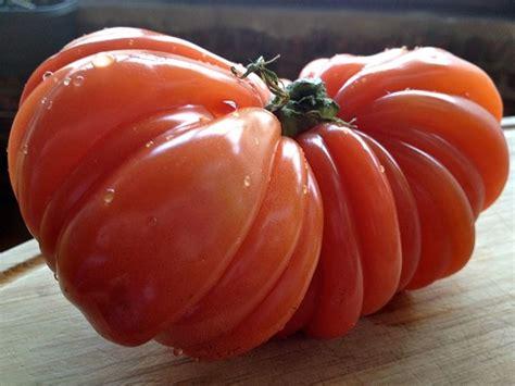 pomodori cuore di bue in vaso pomodoro cuore di bue pomodoro come coltivare il