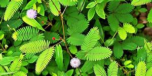 Mimosa, Pudica, Flowers, Move, When, You, Touch, Them
