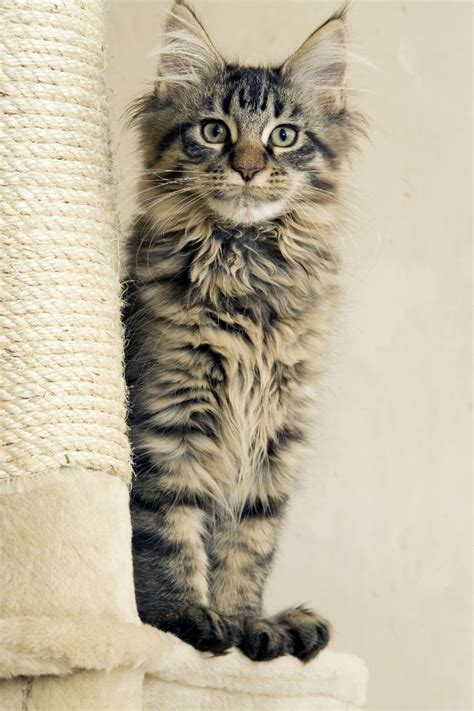 identify  maine coon cat love cats
