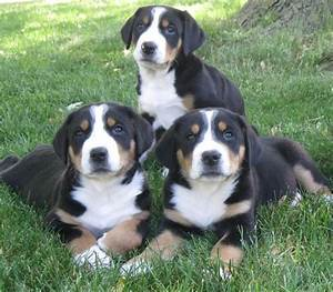 Greater Swiss Mountain Dog - breed information and images ...