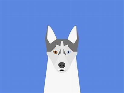 Husky Dog Sammy Dogs Shedding Dribbble Siberian