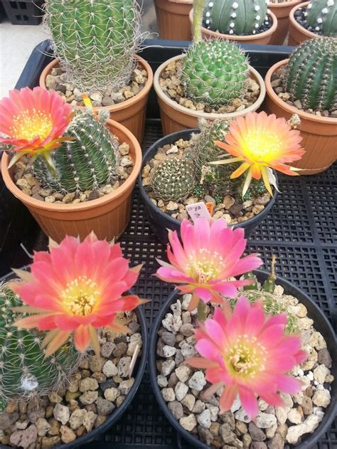 Pin by tawan Tk on นานาแคคตัส | Plants, Cactus