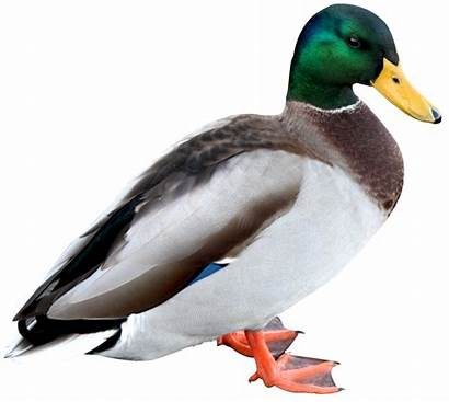 Duck Transparent Mallard Clipart Animals Birds Pekin
