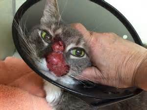 cat herpes feline herpes causes symptoms treatment