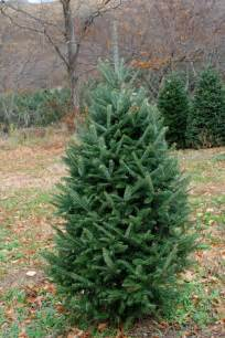 Different Types of Christmas Trees Fraser Fir