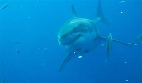 Watch: Largest shark believed to be caught on camera ...