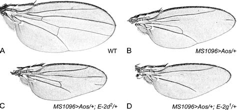 A Genetic Screen For Dominant Modifiers Of A Small-wing