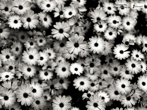 Black And White Flower Wallpaper Wallpapersafari