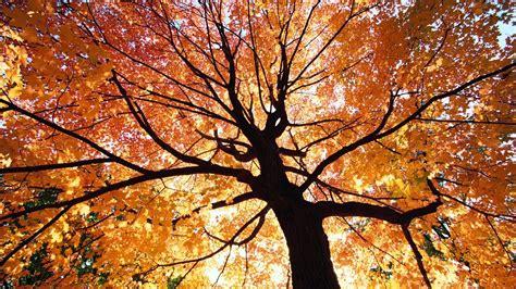 Beautiful Autumn Trees Wallpapers beautiful autumn trees wallpapers http refreshrose