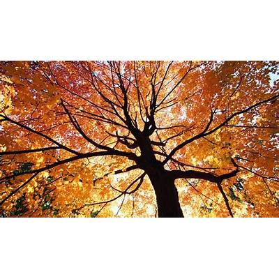 Beautiful Autumn Trees Wallpapers|http://refreshrose