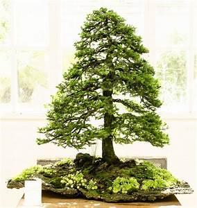 Bonsai Baum Garten : ajan fichte peicea jezoensis als bonsai bonsai ~ Lizthompson.info Haus und Dekorationen
