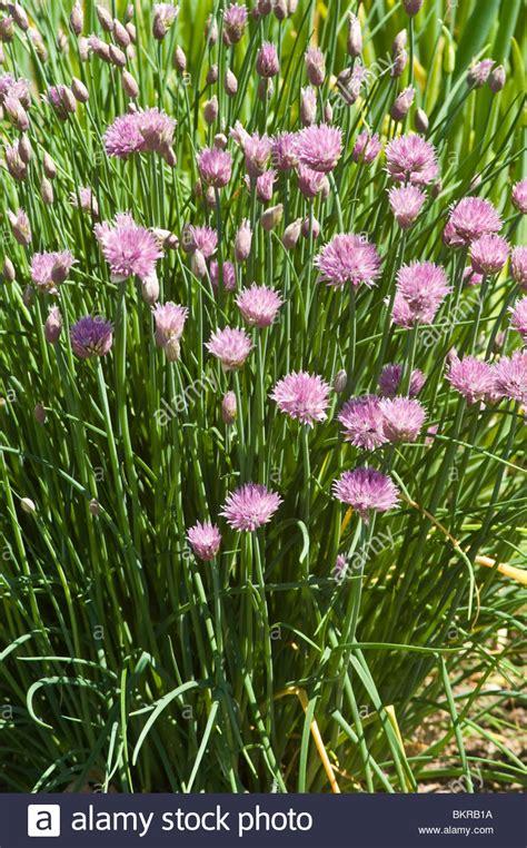 fiori selvatici viola allium schoenoprasum rosa bloossom alliaceae asia rosa