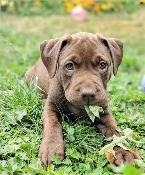 cute labrador pitbull mix dogs    fall