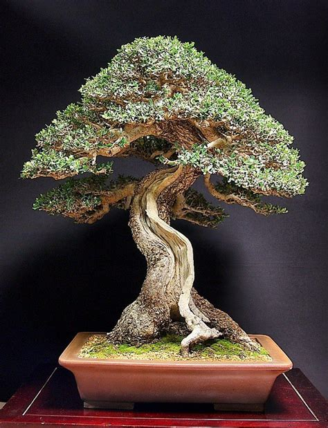 Bonsai Baum Preis by 25 Best Ideas About Bonsai Tree Price On