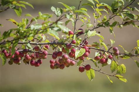 crabapple branches crabapple tree identification with pictures ehow