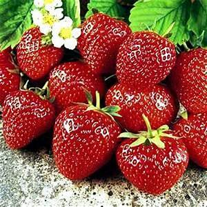 Amazon.com : Sweet Charlie Strawberry Fruit Plant Seed 100 ...