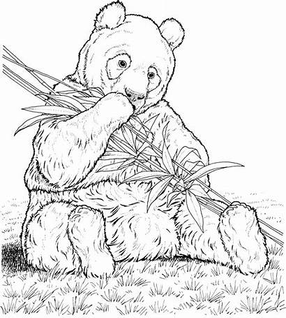 Panda Coloring Pages Bamboo Animals Eating Wildlife