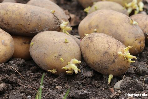 kartoffeln wann pflanzen kartoffeln wann ernten erntezeit f r kartoffeln wann kann