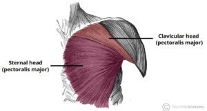 Diagram Pectorali Major by Most Effective Chest Exercises According To Science