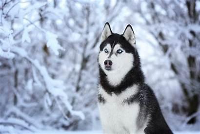 Husky Dog Wallpapers Tab Theme Mystart Email