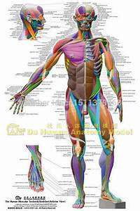 Anatomical Chart Muscular System Different Colors Ecorche