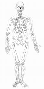 Human Skeleton Diagram Not Labeled Sketch Coloring Page