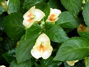 New Impatiens Introduction: Simply Beautiful Fusion ...