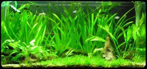 plante d aquarium d eau douce les plantes aquarium site de poisson tropicaux d eau douce