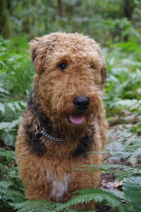 airedale terrier non shedding 17 best images about lurchers and terriers on