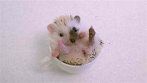 African Pygmy Hedgehog Baby in a Cup - YouTube
