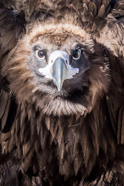 vulture cinereous zoo denver animals