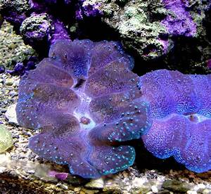 Giant Clams Doc Hemp U0026 39 S Reef Tank Photos