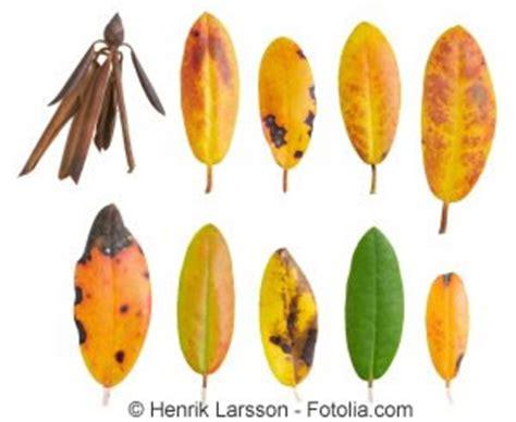 rhododendron braune flecken rhododendron gelbe bl 228 tter und braune flecken ursachen