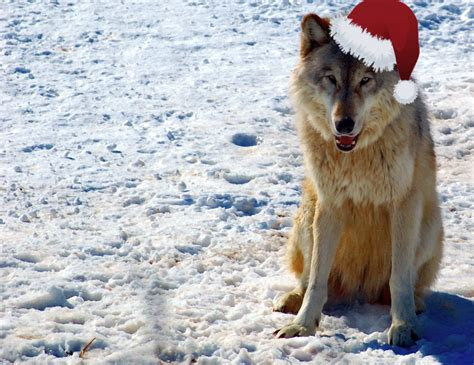 file gray wolf in minnesota christmas jpg wikimedia commons