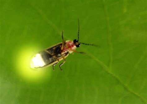 jar lights fireflies vanishing lights houston arboretum nature
