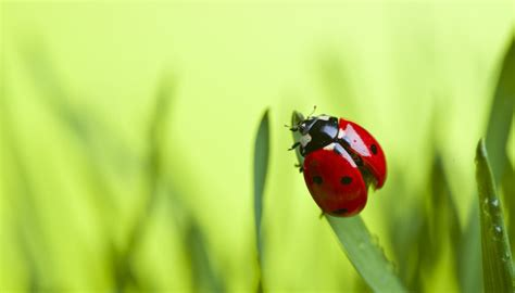 what color is a ladybug the meanings of the colors of ladybugs sciencing