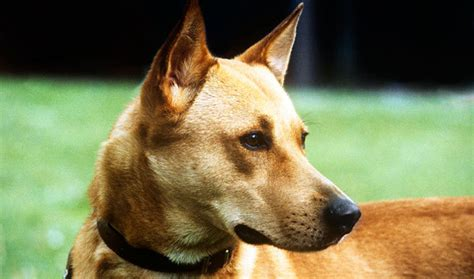 canaan dog breed information