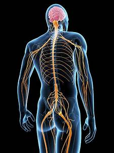 Best Human Nervous System Stock Photos  Pictures  U0026 Royalty