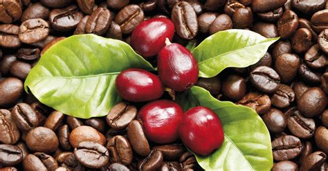 Coffee Fruit Fights Free Radicals And Improves Brain Mocha Coffee Brands With Nesquik Does Give You Diarrhea Wiki Iced Dunkin Donuts Mama Mocha's Emporium Personalized Mugs Houston Moka Pot