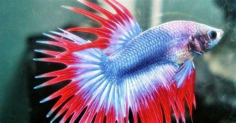 Cara Memelihara Ikan Cupang ikanhias cara memelihara ikan cupang hias