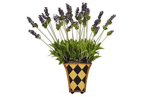 Lavanda Coltivazione In Vaso Coltivare Lavanda Aromatiche Coltivare Lavanda