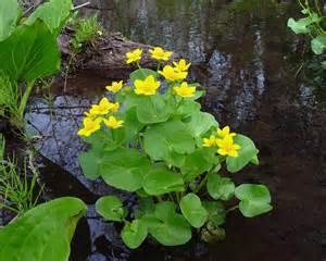 calla flower caltha palustris marsh marigold go botany