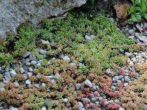Types of Stonecrop Sedum Plants